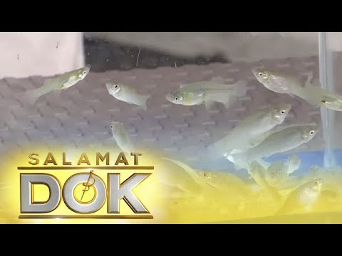 Dr. Rosario Explains How Mosquito Fish Species Could Fight The Spread Of Dengue | Salamat Dok