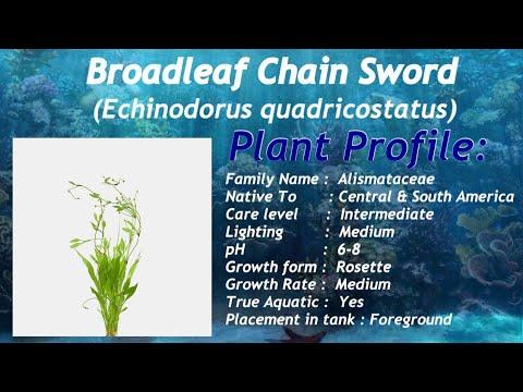 Broadleaf Chain Sword (echinodorus quadricostatus) Aquarium plant profile