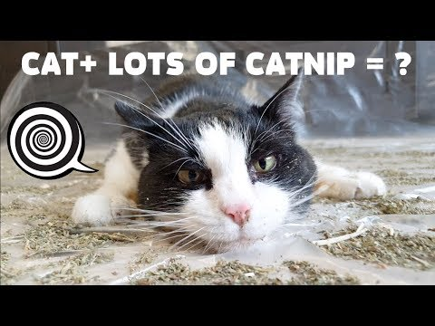 lots-of-catnip-on-the-floor---what-will-it-do-to-the-cat?