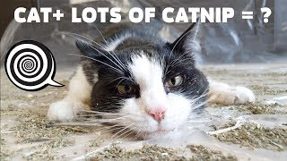 Lots of catnip on the floor - what will it do to the cat?