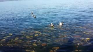 Детеныши чайки у берега на день города (Слюдянка) 2016