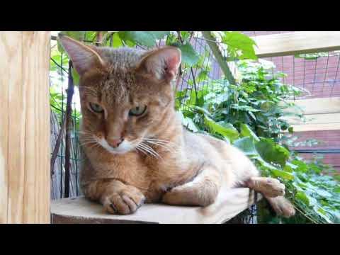 Observa al precioso gato Chausie - Watch the beautiful Chausie cat
