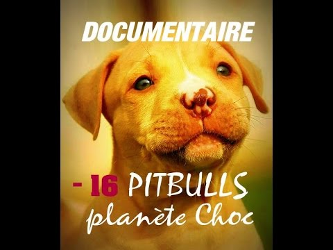 DOCUMENTAIRE - PLANETE PITBULL / KAMPF UM DEN PITBULL