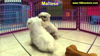 Maltese, Puppies, For, Sale, In, Cincinnati, Ohio, Oh, Westerville, Huber Heights, Lima, Lancaster,
