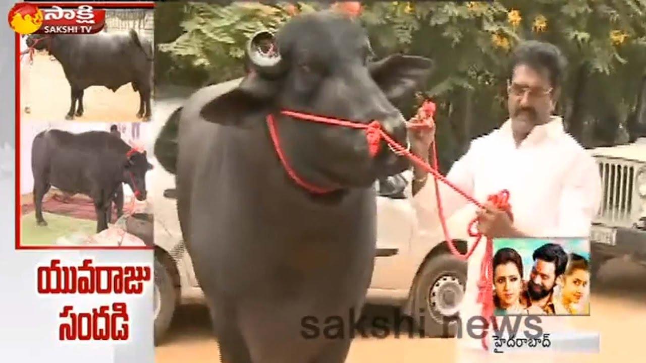 Yuvraj Murrah Buffalo at Hyderabad || Watch Exclusive