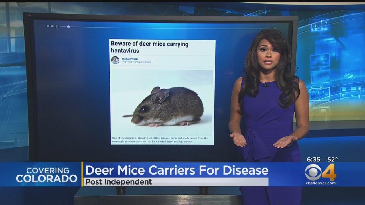 Beware Of Deer Mice, Hantavirus When Cleaning - YouTube
