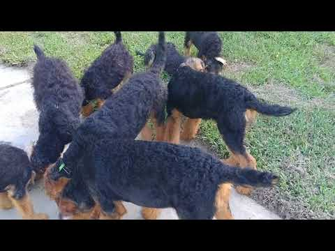 Pack Walk Boy Girl Male Female Airedale Terrier Puppy Puppies For Sale On July 8, 2018