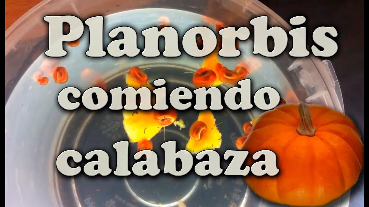Planorbis