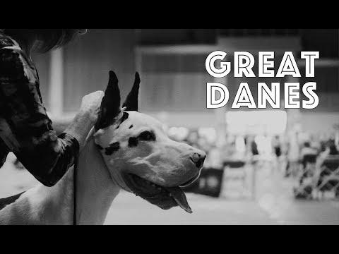 Great Danes at a Dog Show | American Kennel Club | Sunshine State Cluster All-Breed Dog Show