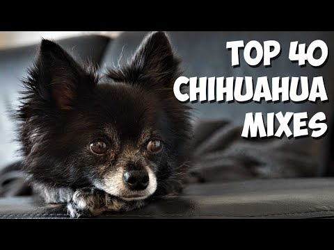 Top 40 Most Popular Chihuahua Mixes 🐶 [2020]