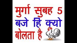 Murga subah 5 baje kyo bolta hai || cock is always cocking at 5 am why ?