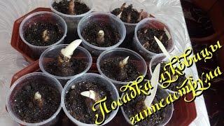 Гиппеаструм. Посадка  луковиц после зимнего покоя