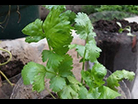 Como sembrar cilantro semillas germinacion hojas flores youtube - Como se planta el bambu ...