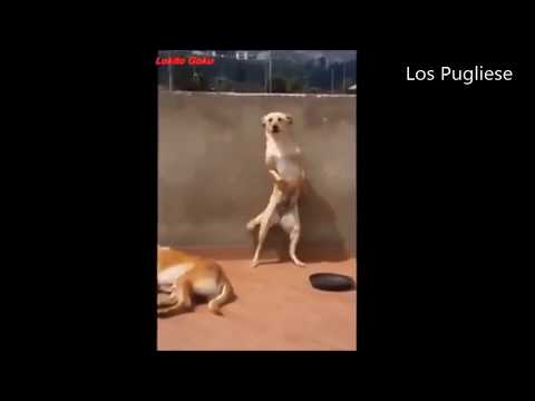 Perros bailan Scooby Doo Pap�!!!!