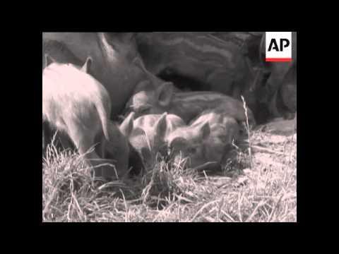milly iron boar