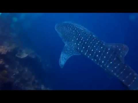 Escaped Whale Shark from Oslob Feeding Ground