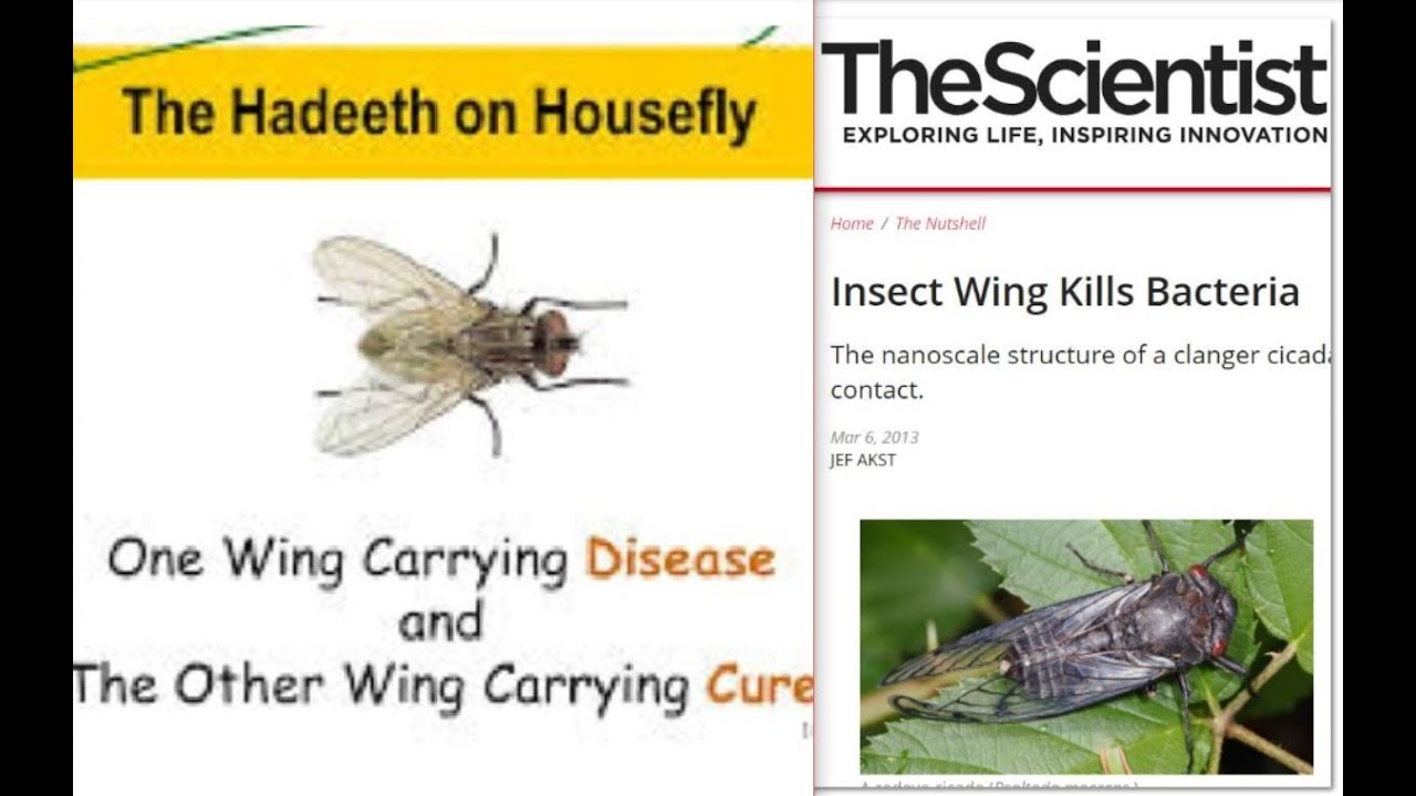 SHOCKING SCIENCE IN ISLAM!! THE HOUSEFLY HAS CURE FOR DISEASE ( MODERN SCIENCE CONFIRMS)
