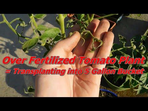 Over Fertilized Tomato Plant Transplanting Into 5 Gallon