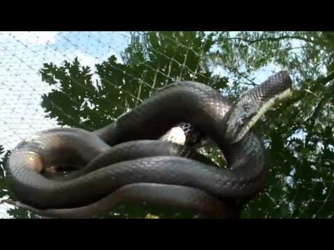 High Drama with a Big Black Snake