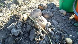 Картофель Лина. 500 килограммов с сотки.