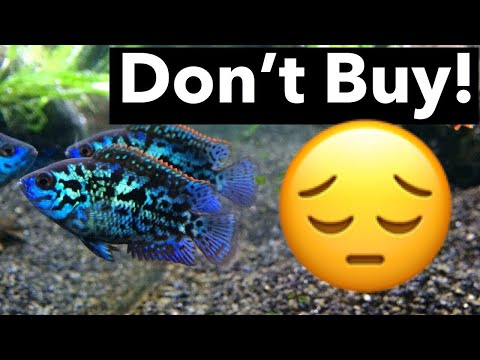 Dead Electric Blue Jack Dempsey Fish - Worth Buying?