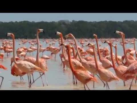Sounds of flamingos