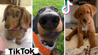 The Most Adorable Dogs on TikTok ~ Cute and Funny Puppies Compilation