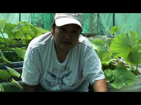 Transplanting Water Lotus Seedlings