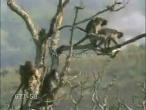 Funny monkey sex in trees videos