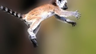 They Bounce! (Lemur and Bush Baby)