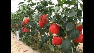 Формировка перца(Формировка перца ничуть не менее важна для получения максимального урожая, чем формировка томатов. Но об..., 2012-08-26T14:09:35.000Z)