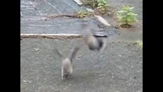 鳩の夫婦喧嘩かと思ったら一羽は羽を怪我している様子。 どうしたんだろ...