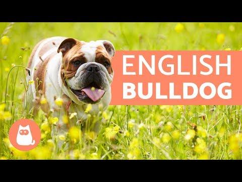 ENGLISH BULLDOG - Traits and TRAINING