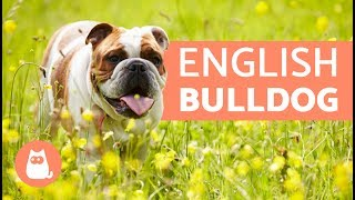 ENGLISH BULLDOG - Traits and TRAINING