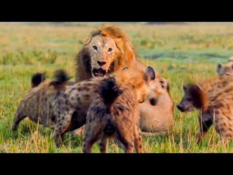 Best Lion Moments: Part 1 | Top 5 | BBC Earth
