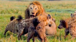 Best Lion Moments: Part 1 | Top 5 | BBC Earth