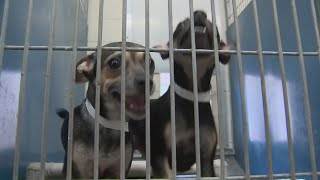 VIDEO: Dog at Maricopa County animal shelter reported with serious bacteria
