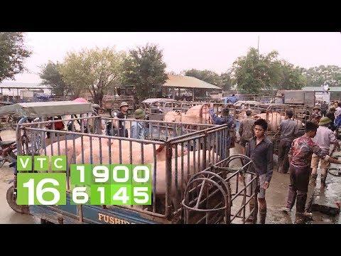 Dịch tả lợn Châu Phi: Vỡ trận, khó kiểm soát  | VTC16