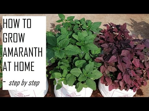 How To Grow Amaranth Greens At Home / How To Grow Leafy Vegetables At Home / Amaranth / Spinach