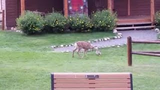 Baby deer, bunny have real-life Bambi, Thumper moment in Colorado