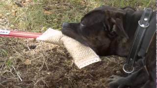 Staffordshire Bull Terrier - Tug Of War