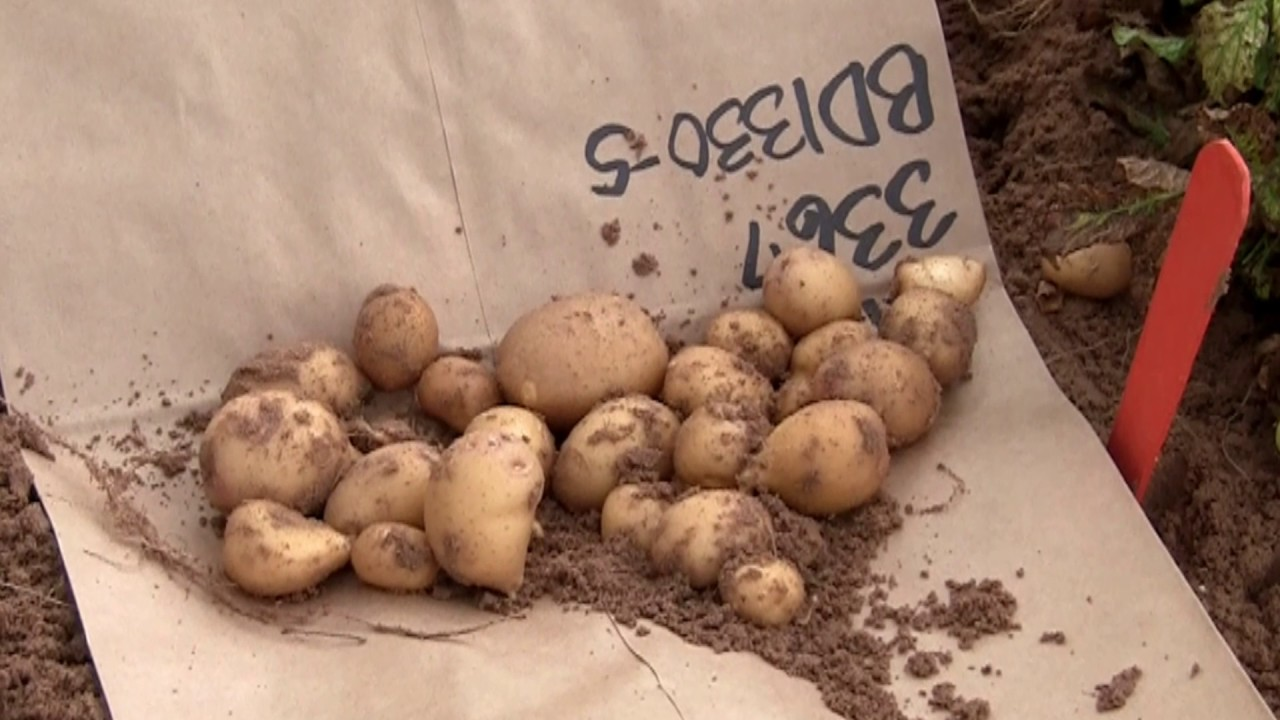 papa criolla potato project youtube rh youtube com