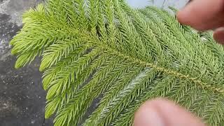 ALL MY PLANTS neem croton pothos yucca lemon