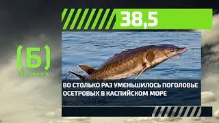 Восколько раз сократилось поголовье осетровых вКаспийском море за20 лет?