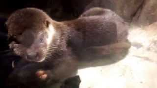 20140715 台灣歐亞水獺寶寶愛毛巾被 Sleepy European Otter Pups loves Towel