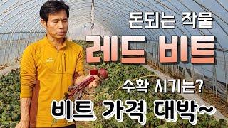 겨울 비트 가격이 대박 ,레드비트 수확시기는 ? 돈되는…