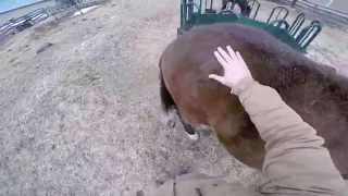 Teaching A Horse Not To Pull Up His Leg For Trimming - Natural Horsemanship