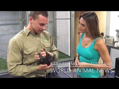 Flying Fox in Australia -World Animal News
