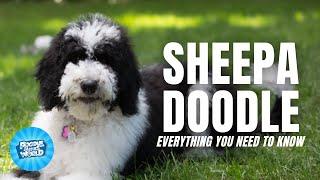 Información sobre la raza de perro Sheepadoodle: ¿son los mejores perros de compañía? Perros Sheepadoodle 101