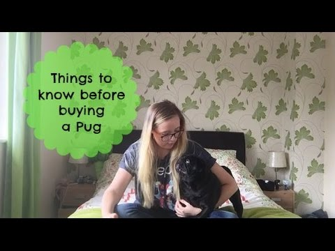 Things to know before buying a Pug.